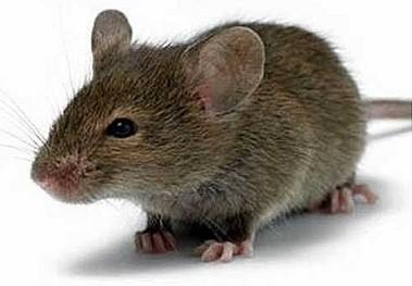 мыши против утеплителя